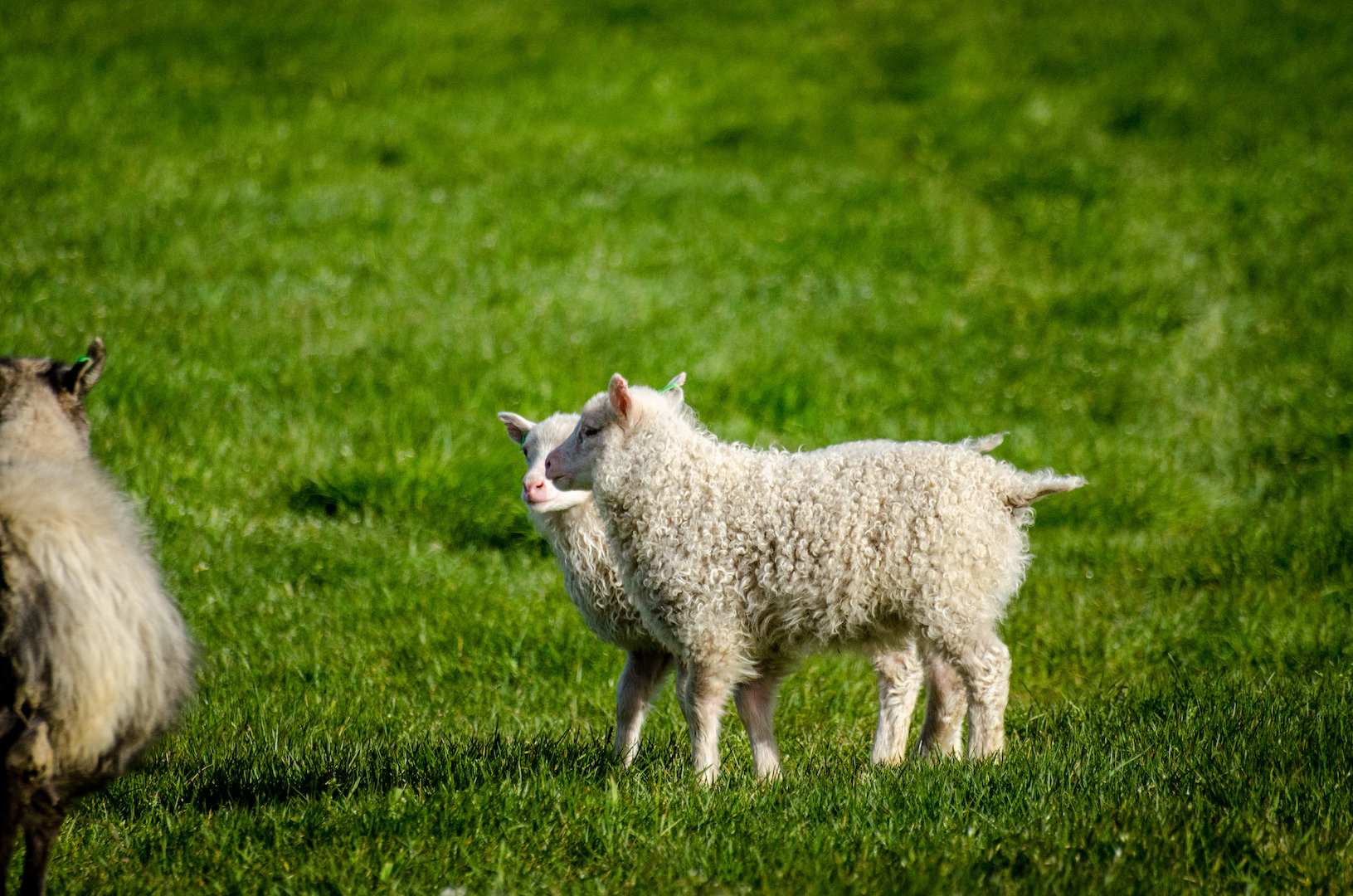 Schafkinder freuen sich auf den Sommer