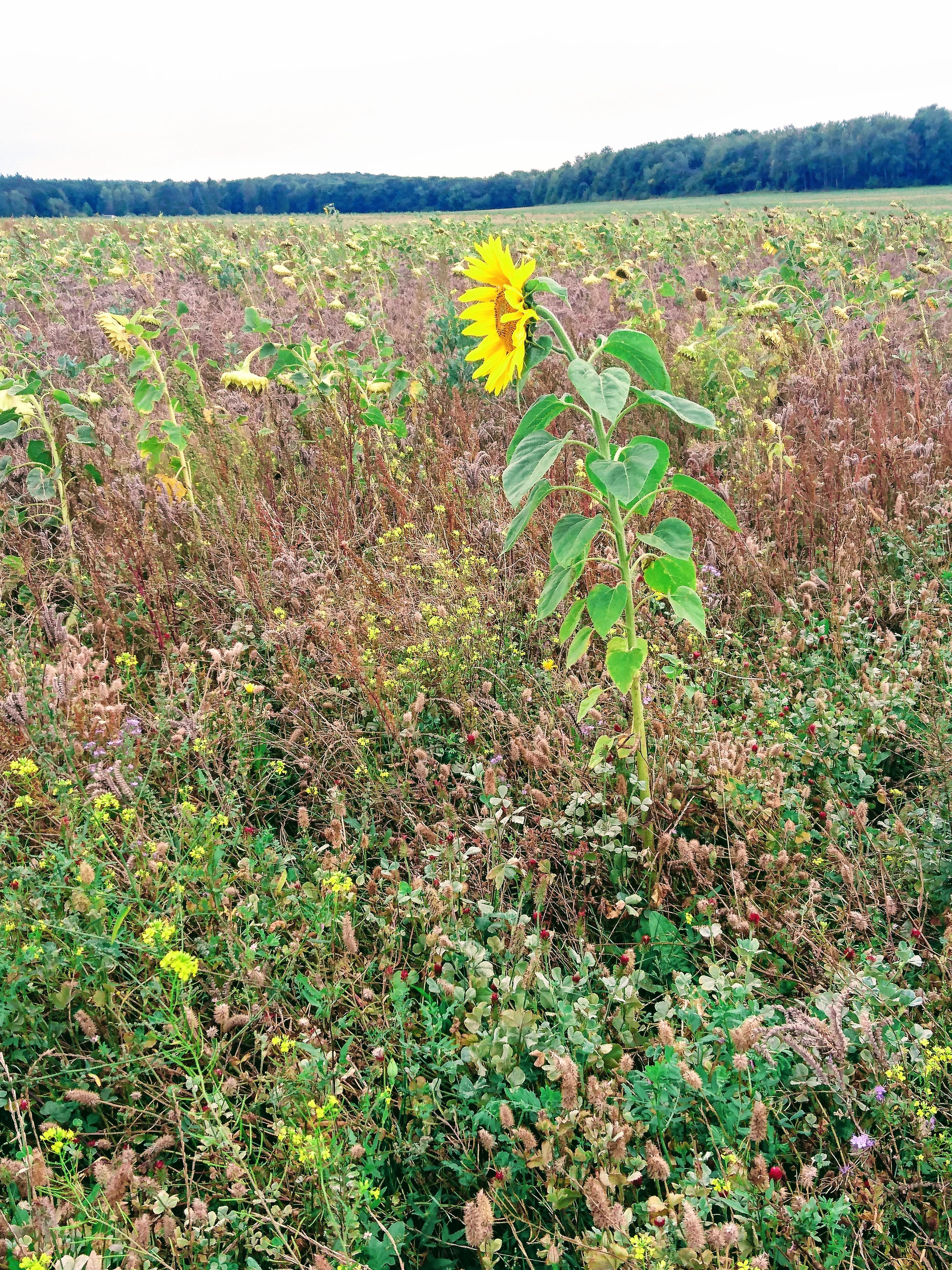 Übergänge: letzte Sonnenblume